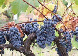 Babcock-Winery-&-Vineyards-on-HometalkNews