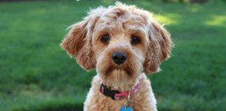Dog-Breeds-Top-4-Best-Friendliest-Dog-Breeds-So-Far-on-hometalk-news