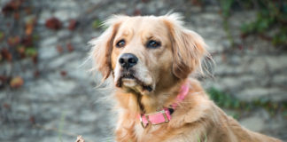 Practical-Benefits-of-Using-Electronic-GPS-Dog-Collars-on-hometalk-news